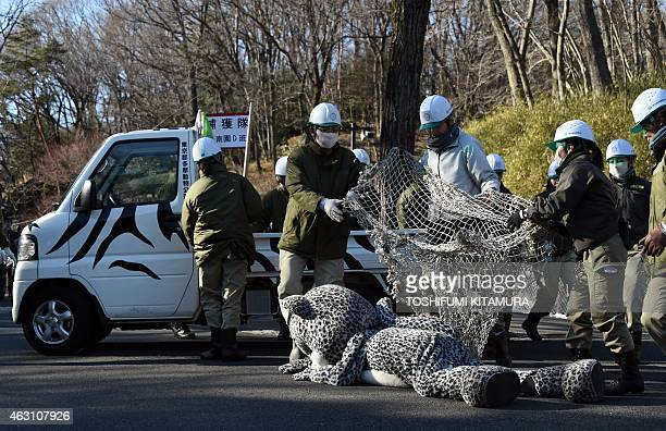 Zoo employees cover a net over an employee wearing a snow leopard suit during a drill to practice what to do in the event of an animal escape at the...