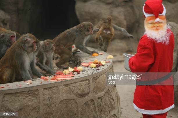 A zoo feeder dressed like Santa Claus feeds the monkeys in a zoo on December 23 2006 in Xian Shaanxi Province China While Christmas Day is not a...