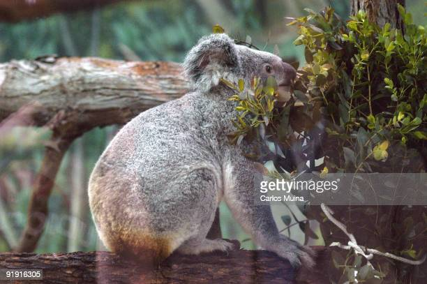 Zoo House of Field Madrid Arrival of the first unit fiber of koala Caloundra I arrive at the airport of Barajas coming from the Zoo de Plackendael...