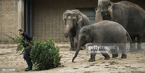 A zoo keeper arrives with a Christmas treat for the elephants as discarded festive trees are offered to them for their morning snack at the zoo in...
