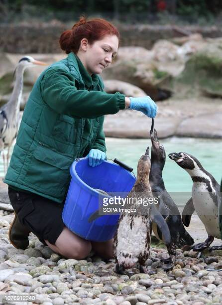 Zoo keeper at ZSL London Zoo seen counting Humboldt Penguins during the Zoo's annual stocktaking Caring for more than 700 different species ZSL...