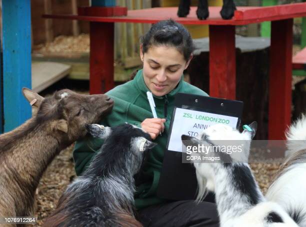 Zoo keeper at ZSL London Zoo seen counting Nigerian Dwarf Goats and West African Pygmy Goats during the Zoo's annual stocktaking Caring for more than...
