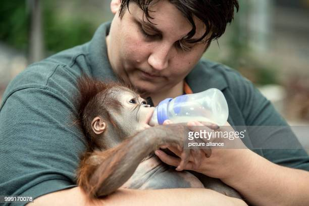 """Zoo keeper Eva Ravagni holding the 2.5-month old Borneo Orangutan baby """"Hujan"""" in her arms in Krefeld, Germany, 15 August 2017. The 3.6 kg heavy baby..."""