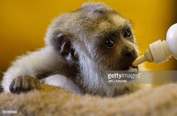 Zoo keeper feeds Diego, a three month old howler monkey, who is being hand reared at Edinburgh Zoo on July 29, 2008 in Edinburgh, Scotland. The black...