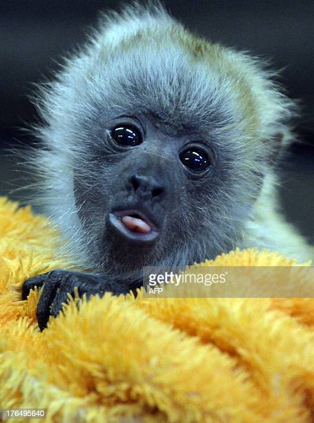 A zoo keeper holds a howler monkey baby during a press presentation in the zoo of Szeged Hungary on August 14 2013 The monkey born on July 20 is...