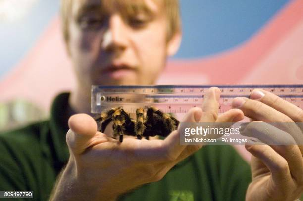 Zoo keeper Jeff Lambert measures Jackie the Mexican Red Kneed Tarantula as part the annual weighin at ZSL London Zoo