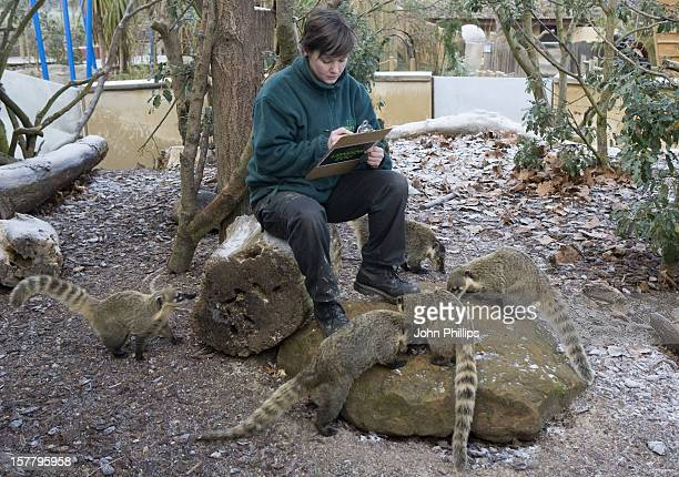 Zoo Keeper Lucy Smith With A Coati During The Annual StockTake At London Zoo London