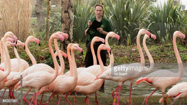 Zoo keeper Mick Tiley makes a record of the number of flamingos in their enclosure at London Zoo as part of the zoo's annual stocktake on January 8...
