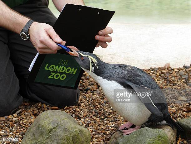 Zoo keeper Mick Tiley makes a record of the number of rockhopper penguins in their enclosure at London Zoo as part of the zoo's annual stocktake on...