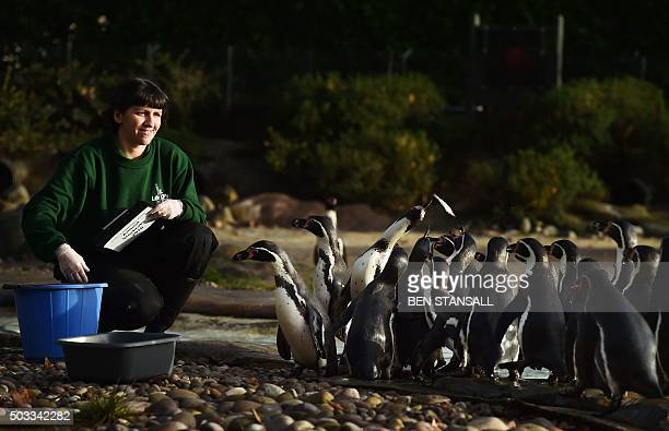 Zoo keeper poses with Humboldt penguins during the annual stocktake photocall at London Zoo in central London on January 4, 2016. The compulsory...