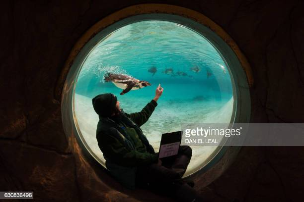 Zoo keeper poses with Humboldt penguins during the annual stocktake photocall at London Zoo in central London on January 3, 2017. The compulsory...