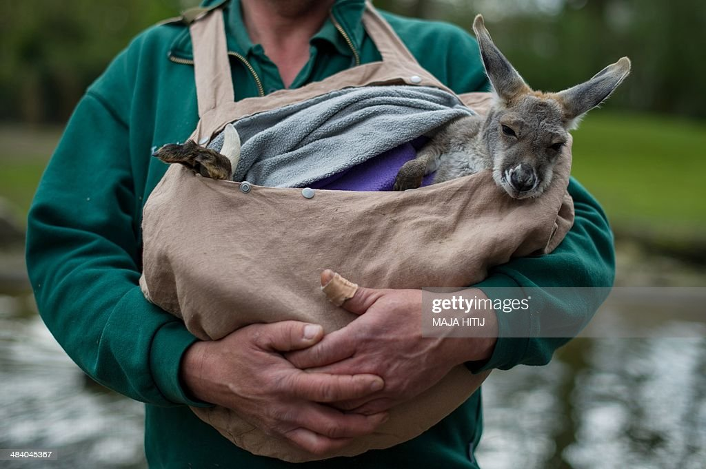 GERMANY-ANIMAL-KANGAROO : News Photo