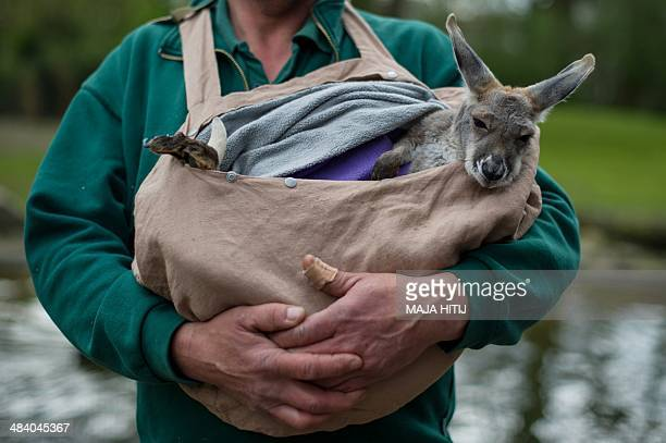 Zoo keeper Thomas Feierabend carries a kangaroo baby named Josey as the zoo hold their annual inventory at the Hagenbeck zoo in Hamburg on April 11...