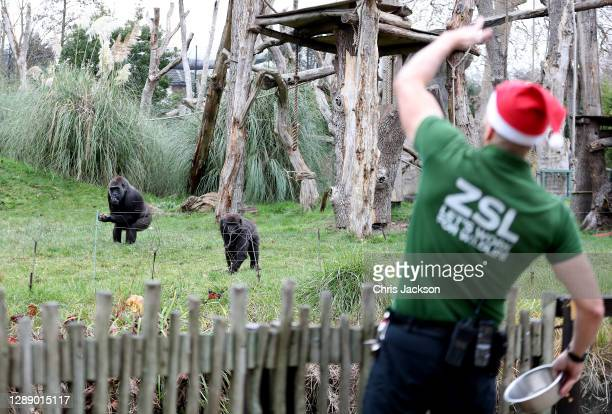 Zoo keeper throws walnuts to the gorillas as London Zoo reopens as festive wonderland at ZSL London Zoo following UK lockdown on December 02, 2020 in...