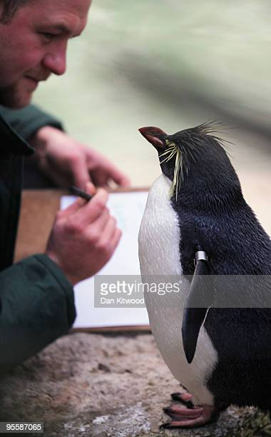 Zoo keeper Tim Savage makes a record of the number of Rock Hopper Penguins in their enclosure at London Zoo as part of the zoo's annual stocktake on...