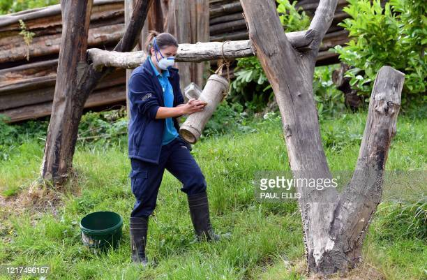 A zoo keeper wearing Personal Protective Equipment lays out food for a Malayan Sunbear at Chester Zoo in Chester north west England on June 4 2020...