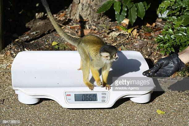 Zoo keeper weigh a squirrel monkey as part of the ZSL London Zoo annual weighin recording animals vital statistics in London United Kingdom on August...