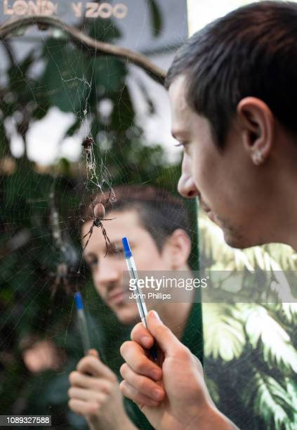 Zoo keeper with an Orb Weaver spider during the annual stock take at ZSL London Zoo on January 03, 2019 in London, England.
