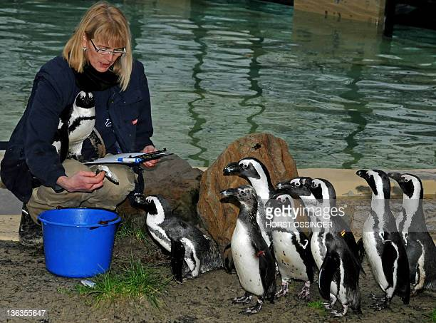 Zoo keeper Yvonka Brand counts pinguins during the inventory at the zoo in Duisburg Germany on January 3 2012 AFP PHOTO / HORST OSSINGER GERMANY OUT