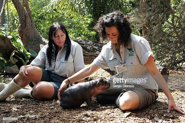 Zoo keepers Tracey Roberts and Ranae Zammit comfort Monifa a one month old baby Pygmy Hippopotamus at Taronga Zoo on November 7 2008 in Sydney...