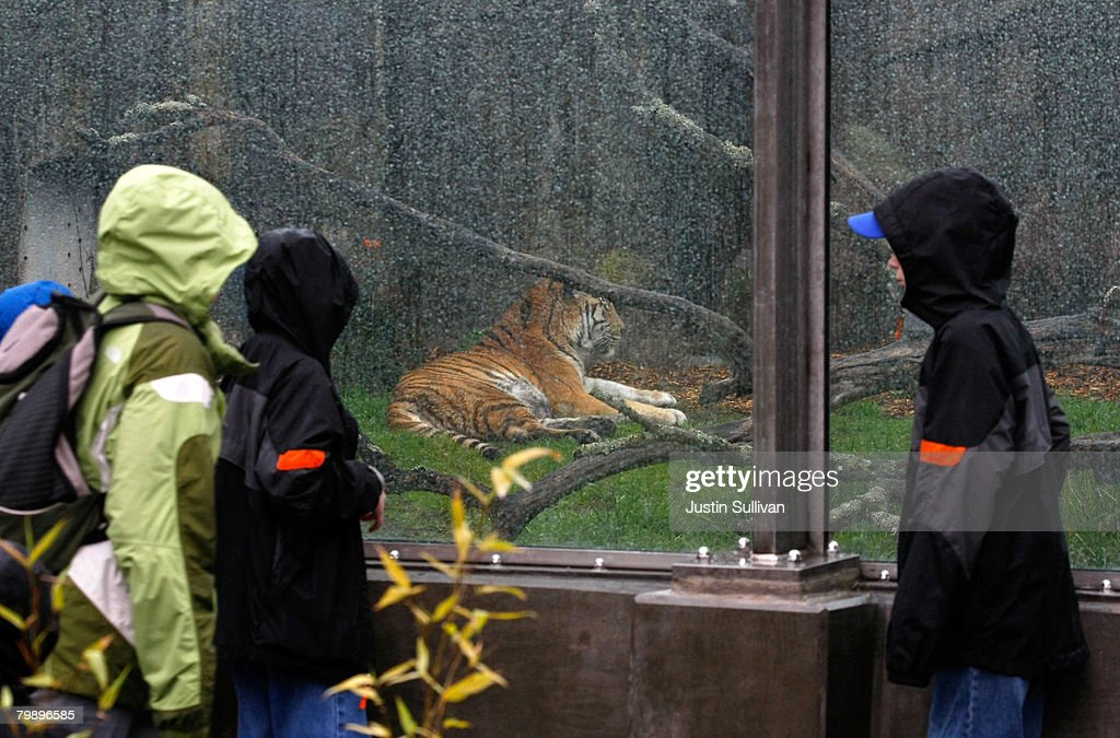 Zoo patrons look through a newly installed barrier in an enclosure where a Siberian tiger escaped in December 2007 at the San Francisco Zoo February 21, 2008 in San Francisco, California. The San Francisco Zoo reopened its big cat grottos for public viewing almost two months after a man was fatally mauled by a Siberian tiger that escaped from its enclosure on Christmas day. Renovations to the enclosures included an extension of the concrete moat to 16 feet, 4 inches from the bottom, installation of glazing and fencing barrier, and installation of a hot wire electric fence.