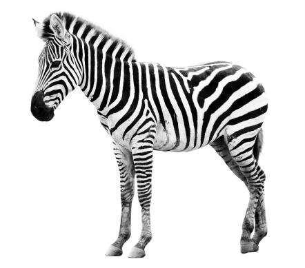 Zoo single  burchell zebra isolated 462503013