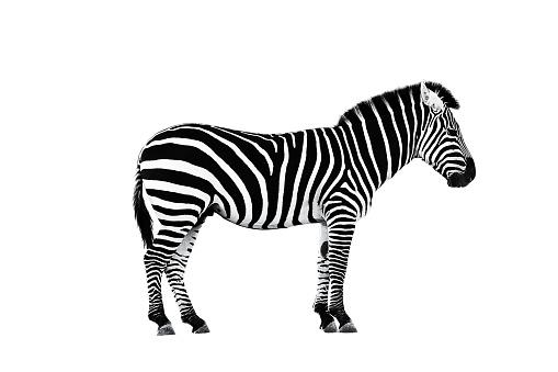 Zoo single burchell zebra isolated 659580606