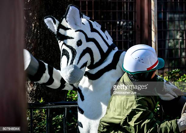 A zoo staff member dressed as a zebra breaks through a zoo worker at Ueno Zoo on February 2 2016 in Tokyo Japan In the drill simulating the scenario...