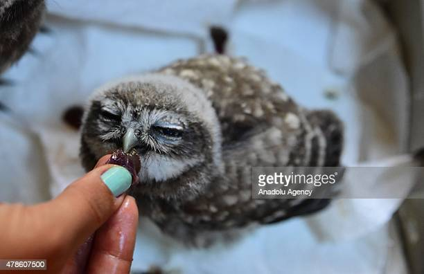 A zoo worker feeds a baby owl at Antalya Zoo and Nature Park on June 26 2015 in Antalya Turkey At the Antalya Zoo and Nature Park 483 zoo babies...