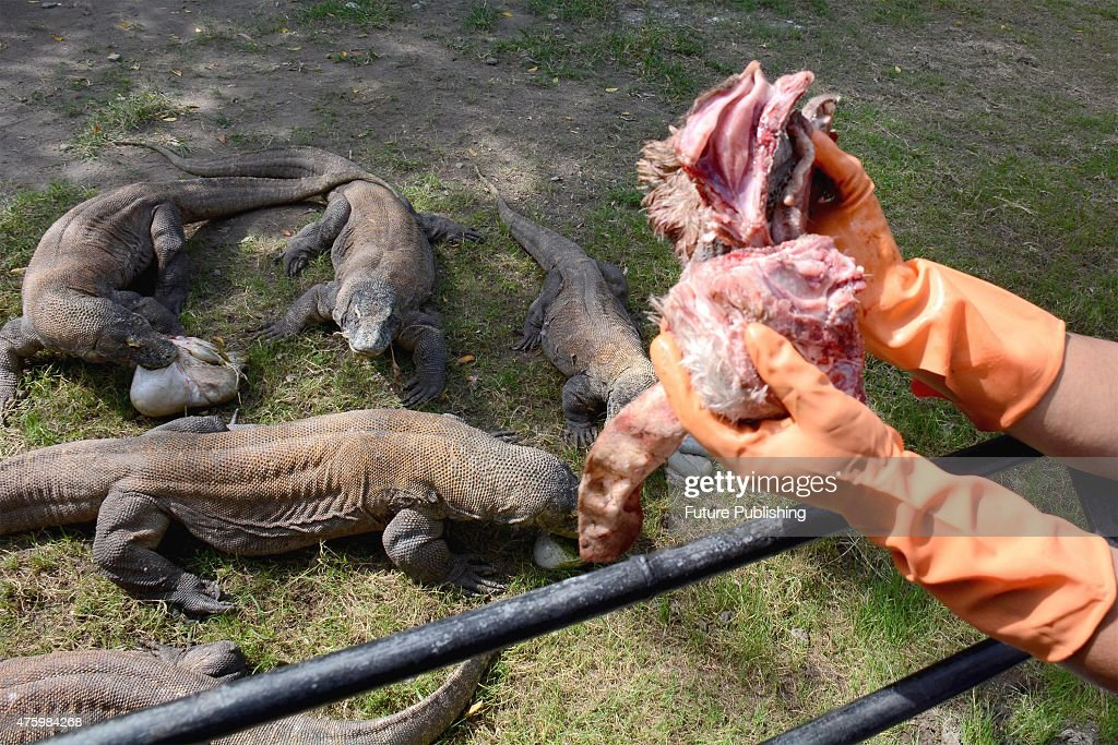 Komodo Dragons Pictures | Getty Images