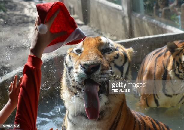 A zoo worker holds up a Santa Claus hat as a Bengal tiger licks the glass casing during a Christmas party for children visiting from an orphanage at...