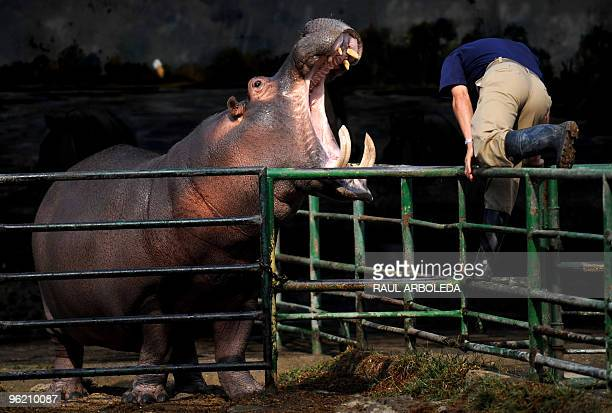 Zoo worker Jorge Aguirre jumps a fence during a dental procedure on a tooth of an hippo named Orion on January 27 2010 at the Santa Fe Zoo in...