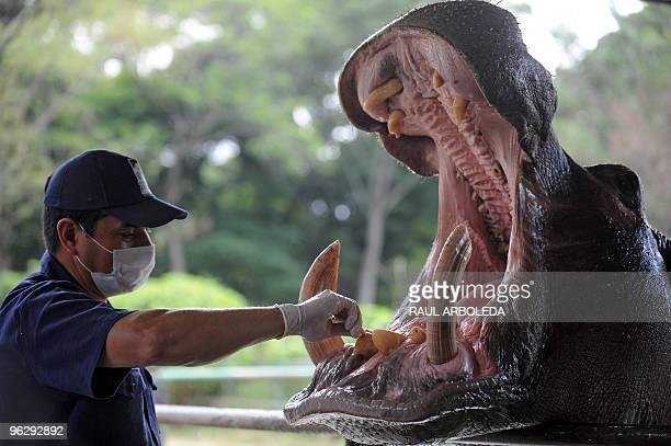 Zoo worker Jorge Aguirre makes a dental procedure to an hippo named Orion in one of its teeth on January 27 2010 at the Santa Fe Zoo in Medellin...