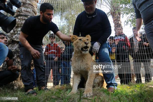 Zoo workers and Palestinian veterinarian Fayyaz alHaddad examine a lion at the Rafah Zoo in tGaza City Gaza on February 13 2019 Gaza's only animal...