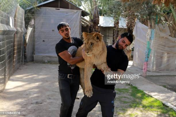 Zoo workers carry a lion at the Rafah Zoo in tGaza City Gaza on February 13 2019 Gaza's only animal care practice which was established 17 years ago...