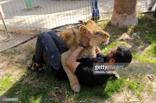 Zoo workers play with a lion at the Rafah Zoo in tGaza City Gaza on February 13 2019 Gaza's only animal care practice which was established 17 years...