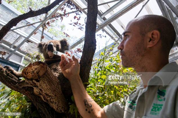 Zookeeper and koala expert, Nick de Vos, works in the emergency rehabilitation centre for koalas affected by the NSW bushfires at Taronga Zoo in...