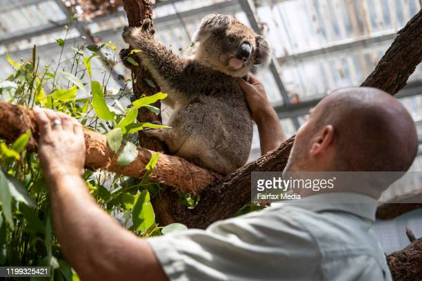 Zookeeper and koala expert Nick de Vos works in the emergency rehabilitation centre for koalas affected by the NSW bushfires at Taronga Zoo in Sydney...