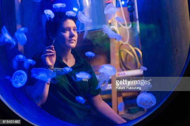 Zookeeper counts Moon Jellyfish during the annual stocktake at ZSL London Zoo. Each year keepers tally up every animal of more than 700 species at...