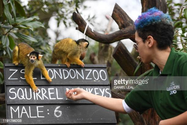A zookeeper counts Squirrel monkeys during the annual stocktake at ZSL London Zoo in central London on January 2 2020