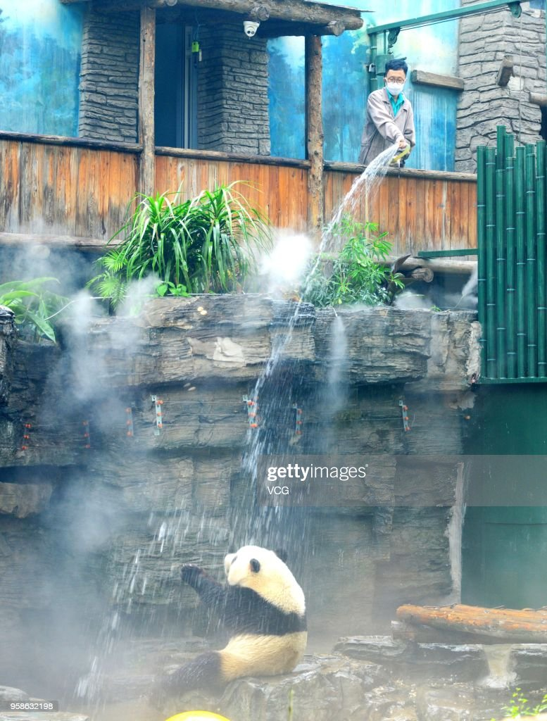 Zookeeper gives a shower to cool off giant panda at Beijing