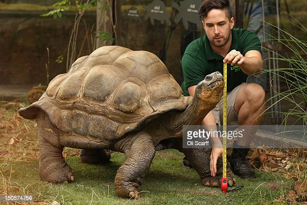 Zookeeper Grant Kother at ZSL London Zoo weighs and measures a giant tortoise during the zoo's annual weighin on August 22 2012 in London England The...
