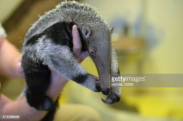 Zookeeper holds a baby of giant anteater in Prague Zoo on March 2, 2016. It was born on January 20 and is Prague Zoo's first anteater born in its...