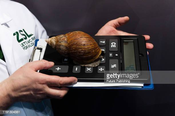 A zookeeper holds a giant African land snail during the annual stocktake at ZSL London Zoo on 02 January 2020 in London England Each year keepers...