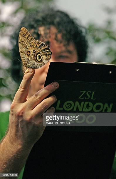 A zookeeper holds an Owl butterfly during London Zoo's annual stocktake 10 January 2008 Individual animals from over 600 species must be accounted...