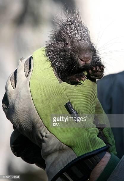 A zookeeper holds up a baby porcupine at Tierpark in Berlin Germany onOctober 14 2011 AFP PHOTO / OZLEM YILMAZER GERMANY OUT