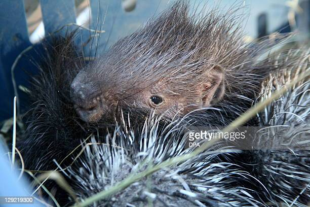 A zookeeper holds up two baby porcupines at Tierpark in Berlin Germany onOctober 14 2011 AFP PHOTO / OZLEM YILMAZER GERMANY OUT