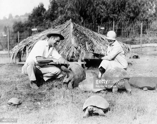 A Zookeeper is measuring the zoo giant turtles before grooming them circa 1930 in San Diego California