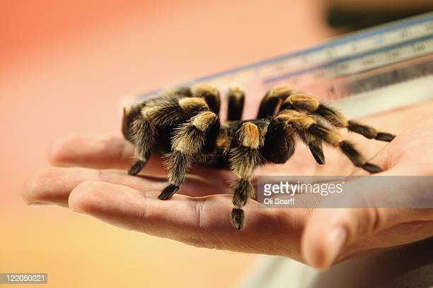 Zookeeper Jeff Lambert measures Jacqueline a Mexican RedKneed Tarantula at ZSL London Zoo as part of their annual weighing and measuring of their...