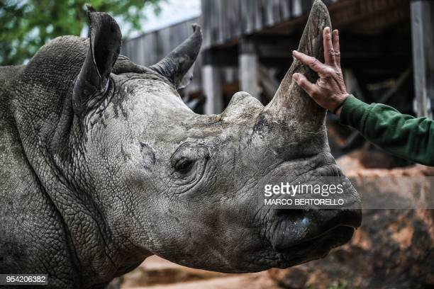 A zookeeper pets a rhino on May 3 2018 at the 'Zoom Torino' zoo in Cumiana near Turin Ian and John two rhino brothers arrived on April 25 from the...
